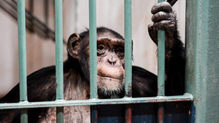 chimpanzee caged