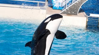 Endangered Listing Could Lead to Retirement for Lone Orca at