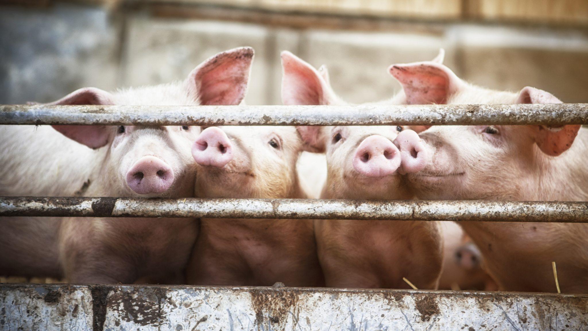 Курское свиноводческое предприятие погрязло в нарушениях
