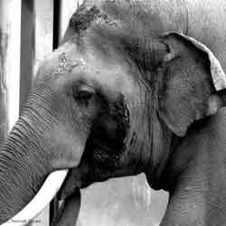 LA zoo elephant Rennett Stowe-250px