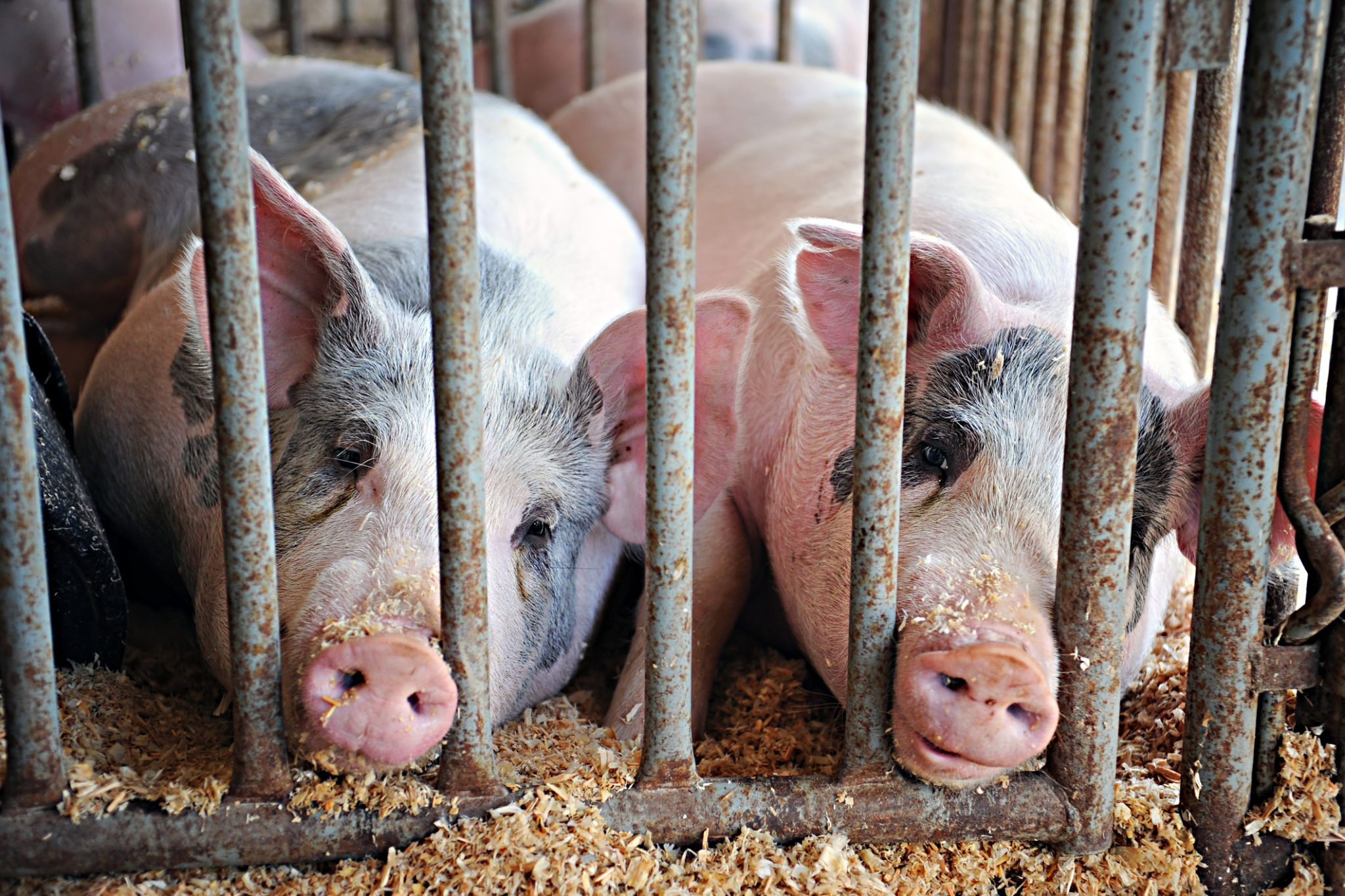 Factory Farm Exemptions from Key Environmental Law