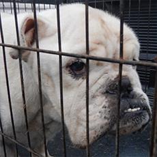 Gus, English Bulldog