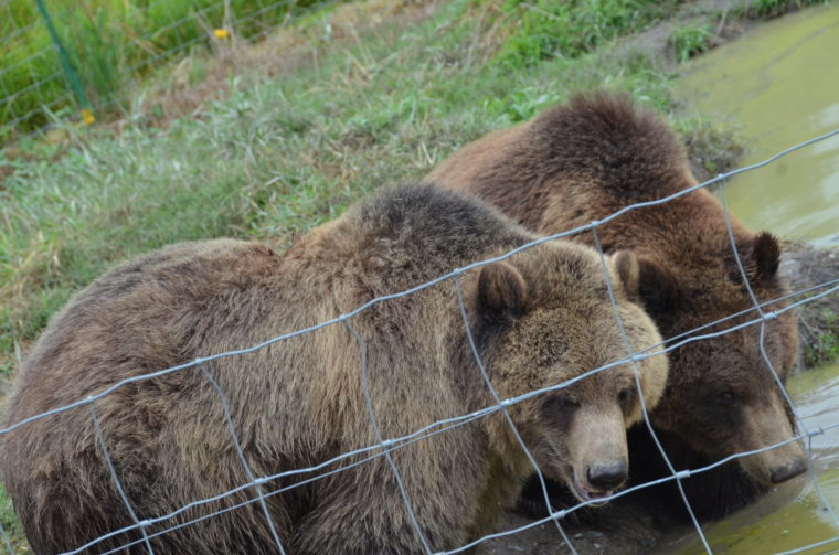 A recent visitor observed a five inch gash on one of the bear's shoulders