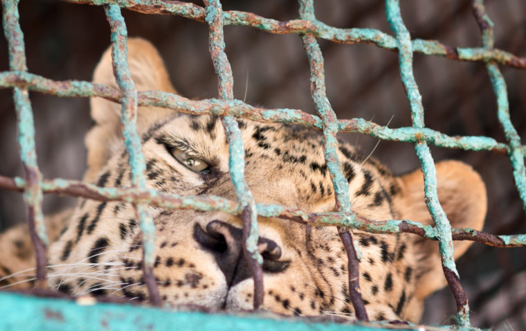 leopard in a cage