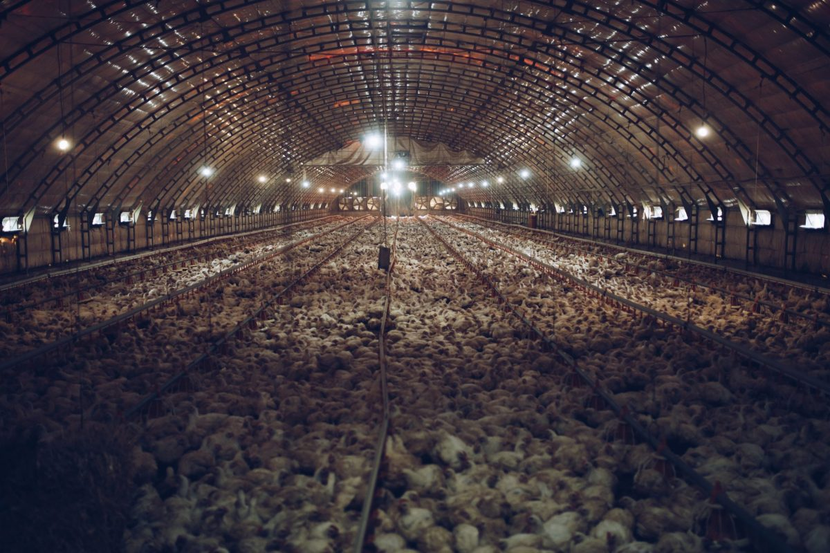 tens of thousands of chicken