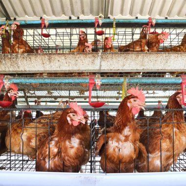 Unhappy hens